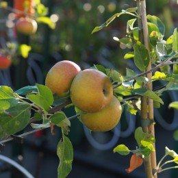 """Pommier """"Amour"""", fruit parfumé"""