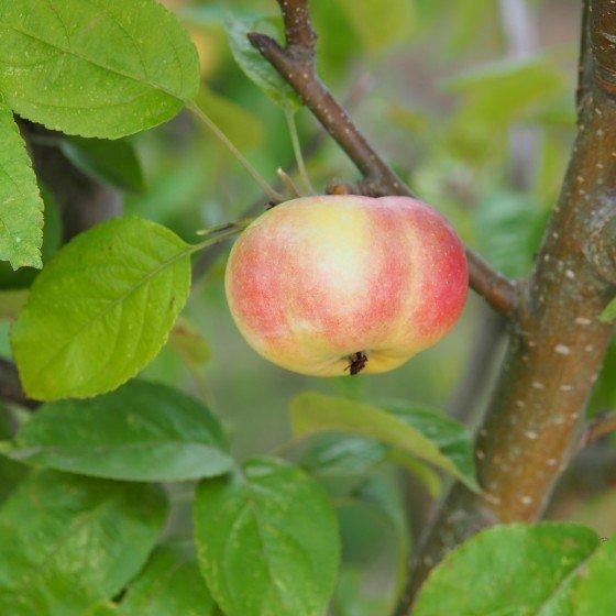"""Pommier """"Api étoilé"""", fruit décoratif"""
