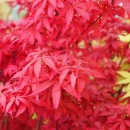 """Érable du japon """"Shaina"""", feuillage dense rouge vif au printemps"""