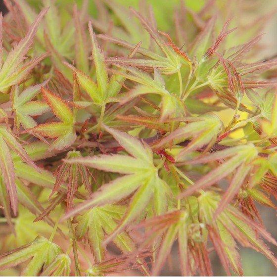 """érable """"Kamagata"""", feuilles au printemps"""