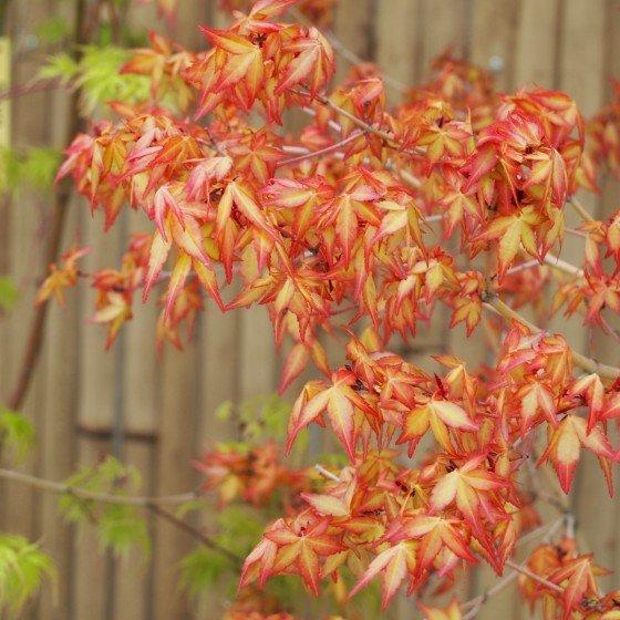 """Érable du japon """"Katsura"""", feuillage au printemps"""