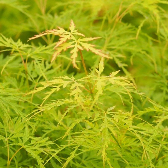 """érable """"Seiryu"""", feuillage vert vif se colore légèrement de rose aux extrémités des lobes au printemps"""