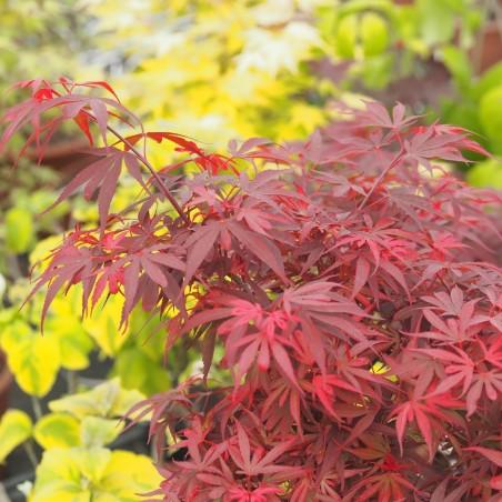 """érable """"Shaina"""", feuillage dense rouge vif au printemps"""