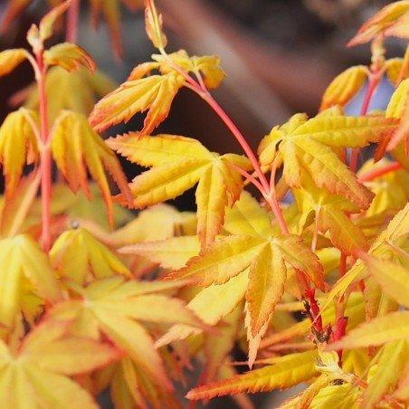 "érable ""Ueno Yama"", couleurs chaudes orange intense au printemps"