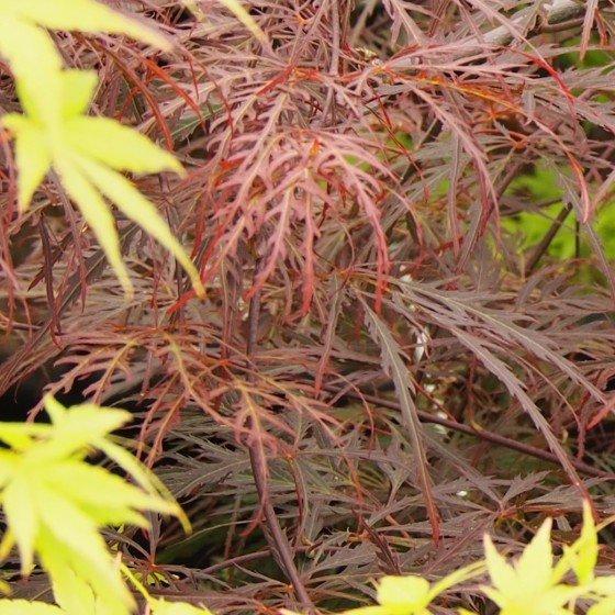 """érable """"Crimson queen"""", feuilles rouges découpées"""