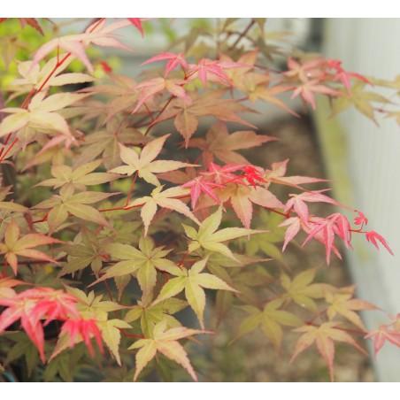 """érable """"Beni maïko"""", couleur en été"""